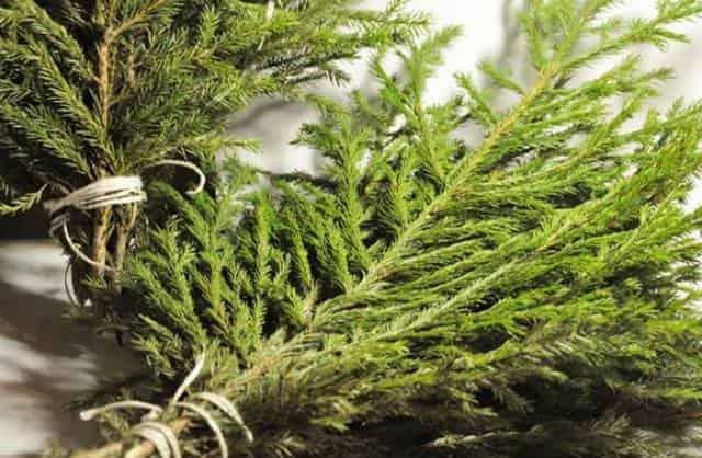 Ветки хвойных деревьев для ловли рыбы